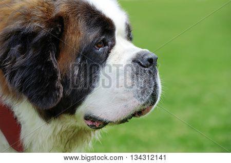 St. Bernard Dog Portrait
