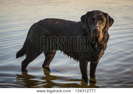 Black dog Labrador Retriever standing in the water, a lake in Poland