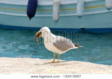A gull swallowing a rat on the harbour front at Skiathos Town on the Greek island of Skiathos.