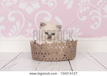 Ragdoll baby cat kitten with blue eyes in a lace brown basket in a living room environment