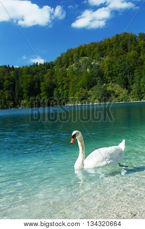 white swan float on the Alps lake