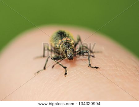 weevil is crawling on a hand. macro photo poster