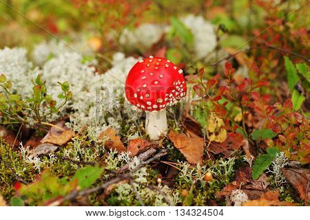 Autumn red mushrooms in forest of Finland