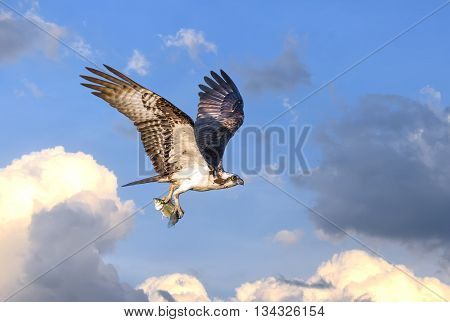 Osprey flying in the clouds over the Chesapeake Bay with fish in talons