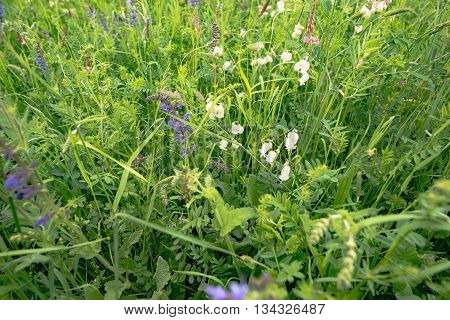 early summer meadow with nice flowers in Germany