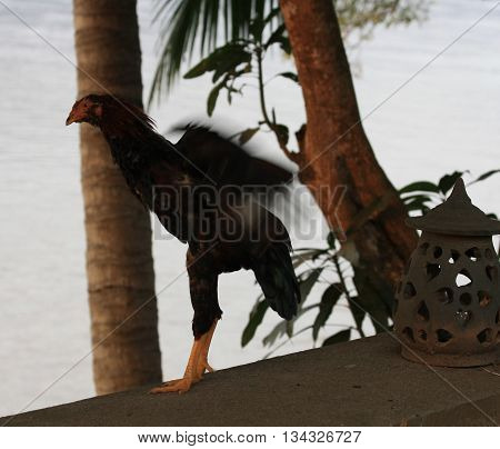 Chicken strutting his stuff on the edge of the Mekong River