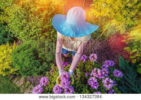 Garden Works. Caucasian Woman in Large Blue Summer Hat Working in the Garden. Top View.