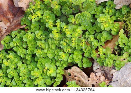 Opposite leaved golden saxifrage (Chrysosplenium oppositifolium) plant. poster