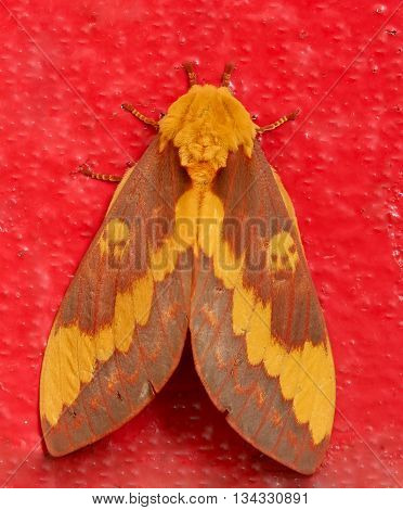 Yellow moth with a pair of skulls in both wings