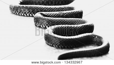 Snake on a white background natrix reptiles animal wild summer poison scale predator