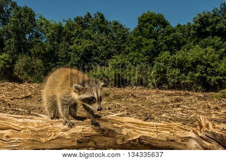A baby raccoon looking for her family after woods were cleared for a new housing development.