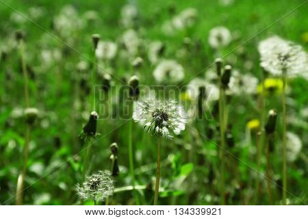 Dandelions on the meadow, closeup