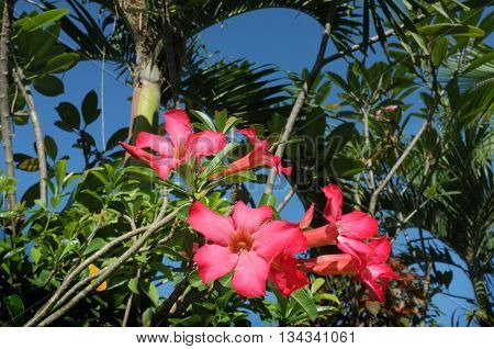 Selective focus close-up of pink Balinese frangipani plumeria flowers against a blue sky and natural tropical background in a garden in Bali Indonesia.