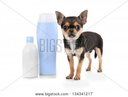 Chihuahua puppy and shampoo bottles isolated on white
