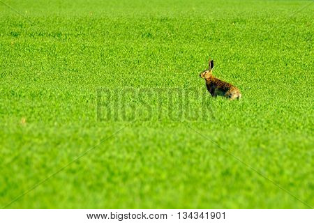 Wild hare in the green field