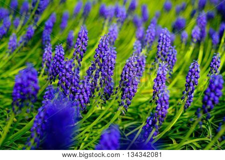 Blue blossoming lupines in a meadow