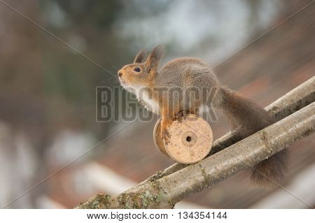 red squirrel with spindle on a branch