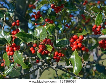 Christmas Holly Tree background with red berries and green leaves in Winter