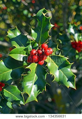 Closeup view of Christmas Holly Tree with clusters of red berries and green leaves and foliage on a perfect cold clear winter day.
