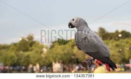 African grey parrot eating corn on branch