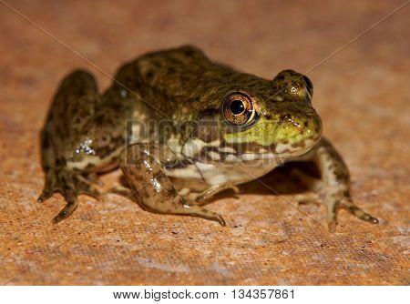 Green frog closeup on rock tile surface