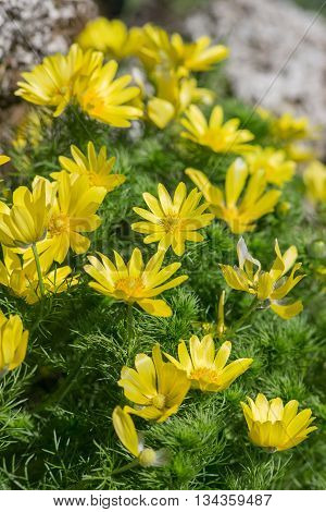 Adonis flowers in spring day close up