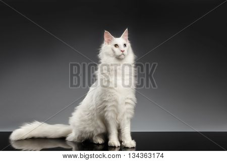 Adorable White Maine Coon Cat with different eyes Sitting and Looking Forward on Black Background