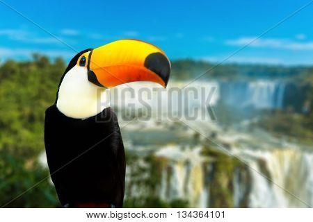 Toucan bird in Foz do Iguacu, Brazil