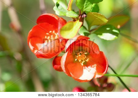 Red flowers of the Japanese quince. Flowers have blossomed after a rain foliage light green. Close up small depth of sharpness