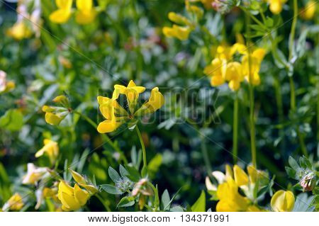 Detail of summer glade with flowers lotus corniculatus