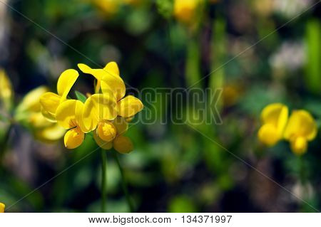 Yellow flowers of a lotus corniculatus collected into small inflorescences