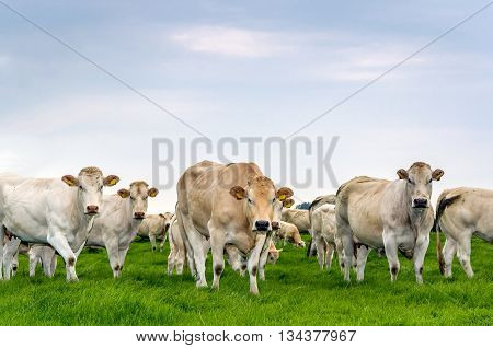Beige and white cows standing in fresh green grassland and looking curiously at the photographer. It's a slightly overcast day in the summer season.