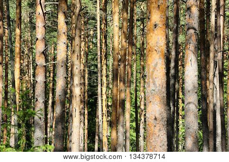 nice pine tree forest in the daylight