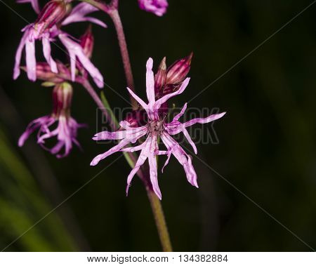 Flower of blooming Ragged-Robin Lychnis flos-cuculi detailed macro with dark bokeh background selective focus shallow DOF