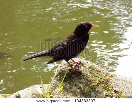 Blackbird standing on stone near lake during sunny day