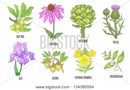 Set of medical herbs. Shea tree echinacea artichoke thistle iris flower jojoba evening primrose polygonatum. Illustration of colorful graphics isolated on white background.