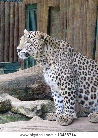 Closeup View of the Leopard Gazing from the Tree Trunk / Leopard-Panthera Pardus