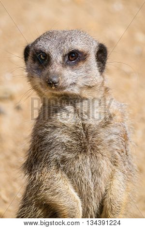 Close up of a Meerkat on watch duty.