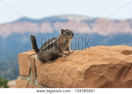 Ground Squirrel At Bryce National Perk, Utah,  Usa