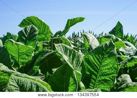 Tobacco leaves field with big green leaves in the tropical sun ready for harvest
