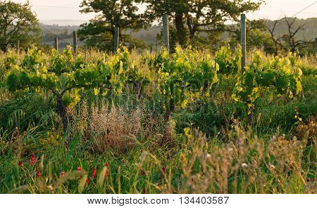 Organic vineyard in Tuscany, Italy, biodiversity promoted
