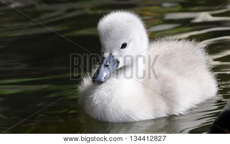 Fluffy baby mute swan cygnet swimming in water