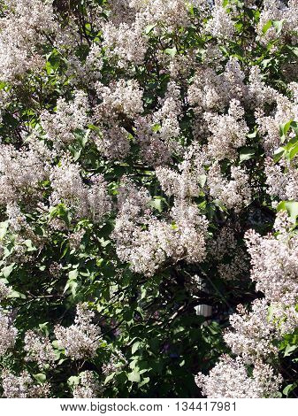 The Rich blooming of pink lilac background