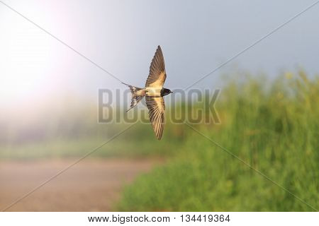 Swallow in flight over road, a unique moment, opened wing with sunny hotspot