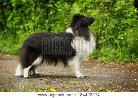 beautiful sheltie dog black and white color is in a show position without a leash in the summer