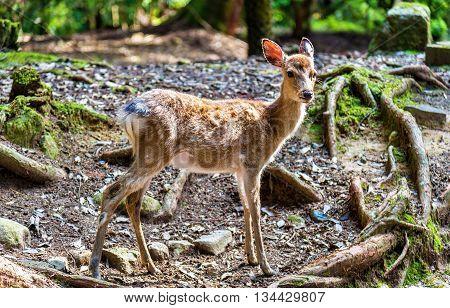 Young sika deer in Nara Park - Japan