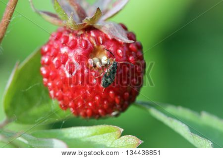 Closeup of a wild strawberry - macro photo Fragaria vesca