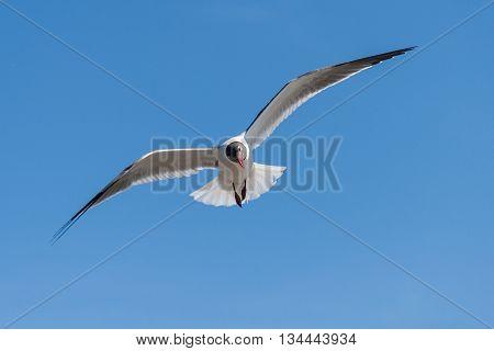 Flying Gulls Or Seagulls At Galveston,  Texas