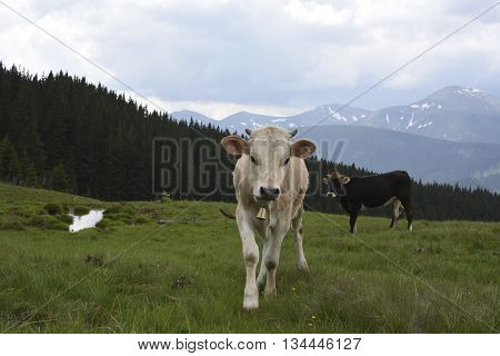 Cows grazing on hills meadow in the background the beautiful mountains landscape. Herd of cows grazing in hills.