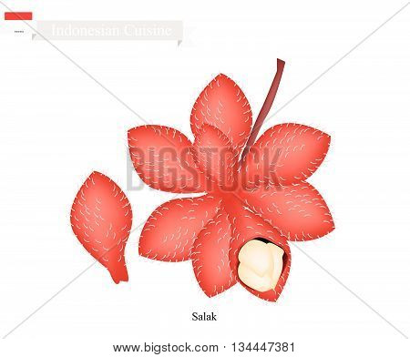 Indonesian Fruit Illustration of Salak. One of The Most Popular Fruits in Indonesia.